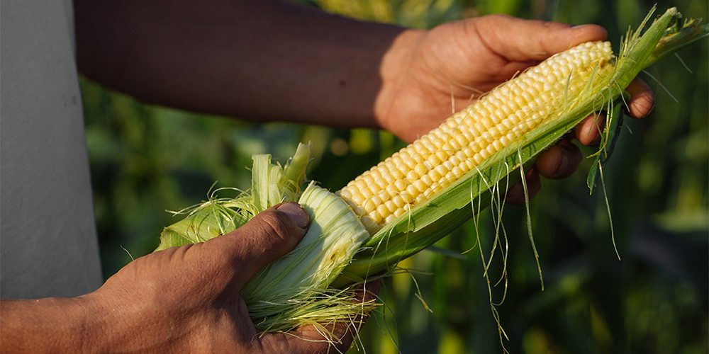 Independent Seed Company Corn Option
